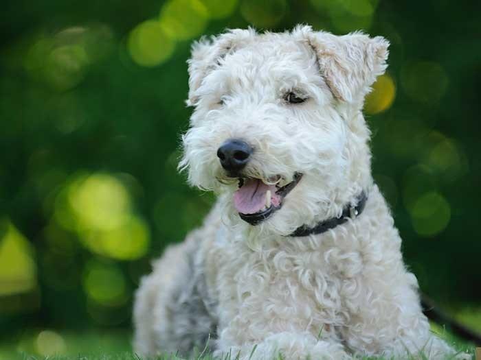 Erwachsener Hund (kleine Rassen ab ca. 10-12 Monaten, mittelgroße bis große Rassen nach einem Jahr bis 18 Monaten)