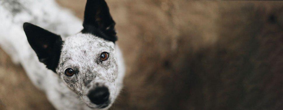 Kategorie Hund