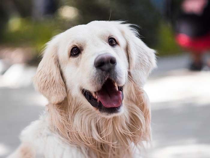 Älterer Hund (kleine Rassen ab 10 Jahren, mittelgroße Hunde ab 8 Jahren, große Hunde ab ca. 7 Jahren)