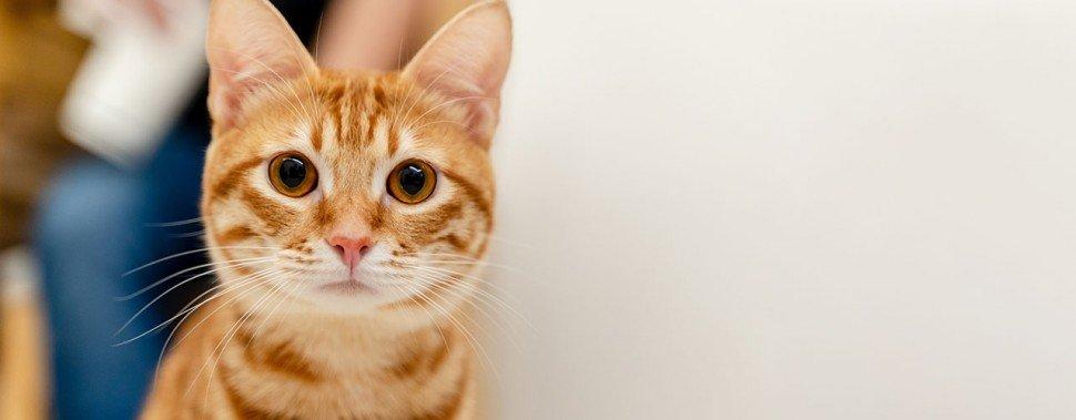 Kategorie Katze