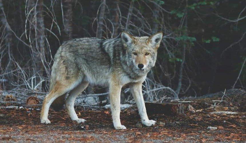 BARF_Wolf
