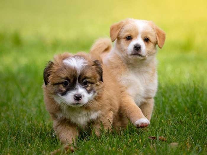 Puppy (bis ca. zur 18. Lebenswoche)